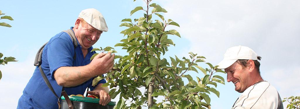 Ein neuer Obstbaugehilfe