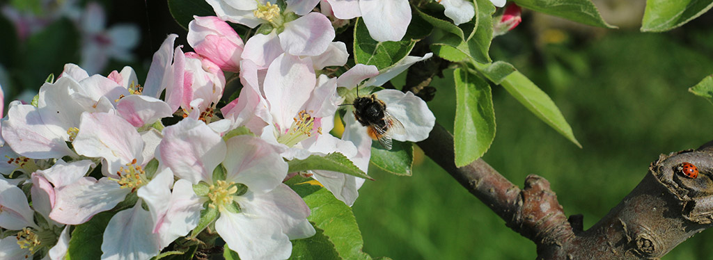 Apple blossoming: tight cluster and pink stages